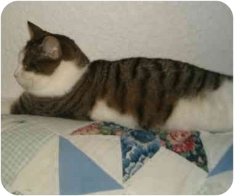 American Shorthair Cat for adoption in Keizer, Oregon - Abby in Keizer, OR