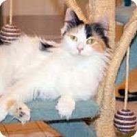 Adopt A Pet :: Beyonce (Loving Lapsitter) - Arlington, VA