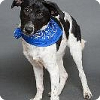 Whippet/Pointer Mix Dog for adoption in Louisville, Kentucky - Campbell
