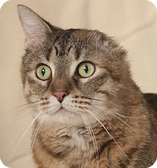 Bengal Cats For Adoption In Chicago