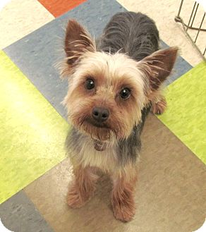 yorkie rescue missouri house springs mo yorkie yorkshire terrier mix meet 9964