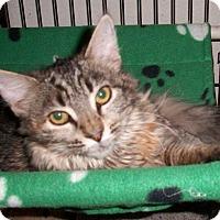 Adopt A Pet :: Cinnabon - Parlier, CA