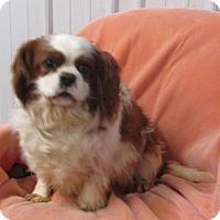 Adopt A Pet :: CAVALIER~SWEET BOY - WOODSFIELD, OH