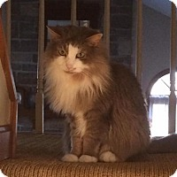 Domestic Longhair Cat for adoption in Cincinnati, Ohio - zz 'Kira' courtesy listing