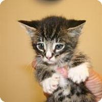 Domestic Shorthair Kitten for adoption in Wildomar, California - Eli