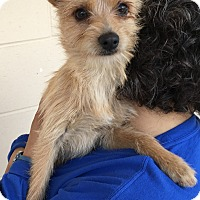 Adopt A Pet :: Chips - Santa Maria, CA