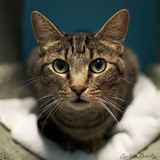 Domestic Shorthair Cat for adoption in Los Angeles, California - Jackie