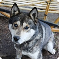 Siberian Husky Mix Dog for adoption in Cavan, Ontario - Bengi