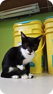 Domestic Shorthair Kitten for adoption in St John, Virgin Islands - Sundance