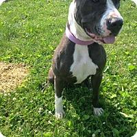 Pit Bull Terrier Mix Dog for adoption in Centerburg, Ohio - Chloe