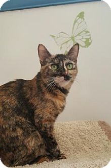 Domestic Shorthair Cat for adoption in Yucaipa, California - Ruby