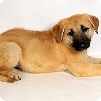 Adopt A Pet :: Artemis GS - St. Louis, MO