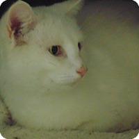 Domestic Shorthair Cat for adoption in Jackson, Missouri - Charmin