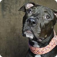 Adopt A Pet :: RAVEN - Cliffside Park, NJ