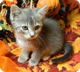 Domestic Shorthair Kitten for adoption in Columbus, Nebraska - Olivia