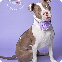 American Staffordshire Terrier/American Pit Bull Terrier Mix Puppy for adoption in Apache Junction, Arizona - Baby