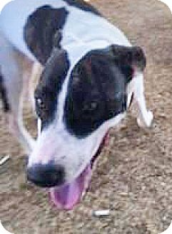 Pit Bull Terrier/Whippet Mix Dog for adoption in Spokane, Washington - Oreo