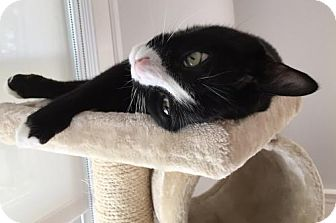 Domestic Shorthair Cat for adoption in Wakefield, Massachusetts - Emiliyo