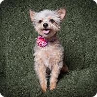 Adopt A Pet :: Emma - Rancho Santa Margarita, CA