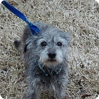 Adopt A Pet :: Scooter - Spring Valley, NY