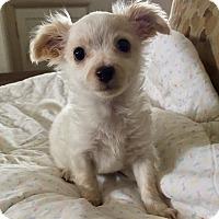 Adopt A Pet :: Biscuit - Santa Ana, CA