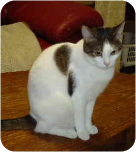 Domestic Shorthair Cat for adoption in Elmira, Ontario - Zoey