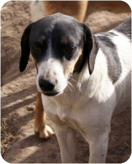 Beagle/Rat Terrier Mix Dog for adoption in Glenpool, Oklahoma - Roof Top Sally
