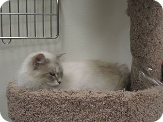 Ragdoll Cat for adoption in Chesapeake, Virginia - Molly