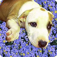 Adopt A Pet :: Tonka sweet boy - Sacramento, CA