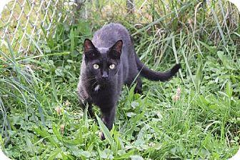 Domestic Mediumhair Cat for adoption in Bluefield, West Virginia - Nicholas