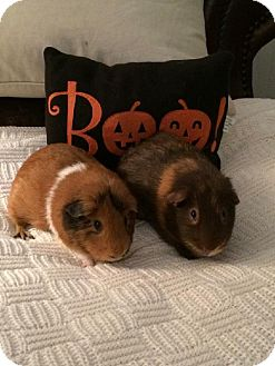Guinea Pig for adoption in Maryville, Tennessee - Teddy and Louie