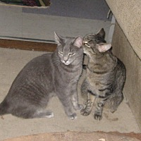Domestic Shorthair Cat for adoption in San Diego, California - NICKLES & NAKITA