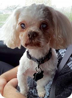 Shih Tzu/Poodle (Miniature) Mix Dog for adoption in Kenner, Louisiana - Ajax