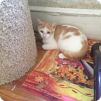Adopt A Pet :: Buddy (Jeannie's Kittens) - Medford, NJ