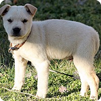 Adopt A Pet :: Ainsley - Plainfield, CT