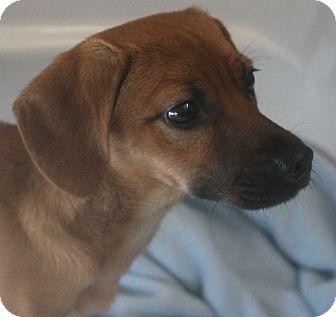 Terrier (Unknown Type, Medium)/Dachshund Mix Puppy for adoption in Mt Sterling, Kentucky - Sammy