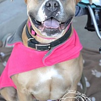 Boxer/American Staffordshire Terrier Mix Dog for adoption in San Diego, California - Katia