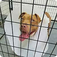 Adopt A Pet :: Meatball - Las Vegas, NV