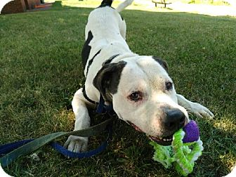 American Bulldog/Pit Bull Terrier Mix Dog for adoption in East McKeesport, Pennsylvania - Caesar