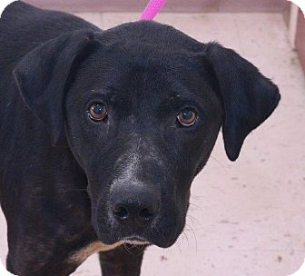 Labrador Retriever Mix Dog for adoption in McDonough, Georgia - Griff
