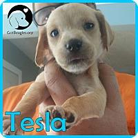 Adopt A Pet :: Tesla - Pittsburgh, PA