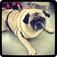 Pug Mix Dog for adoption in Grand Bay, Alabama - Pugsley