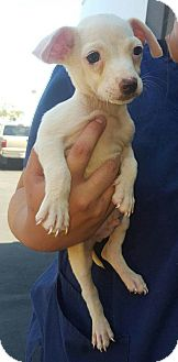 Terrier (Unknown Type, Small)/Chihuahua Mix Puppy for adoption in Renton, Washington - Logan