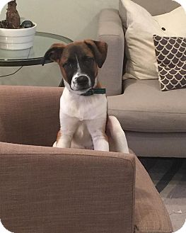 Hound (Unknown Type)/St. Bernard Mix Puppy for adoption in Sagaponack, New York - Bernie