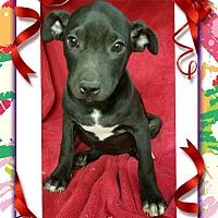 Adopt A Pet :: Georgia meet me 10/28 - Manchester, CT