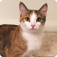 Domestic Shorthair Cat for adoption in Green Bay, Wisconsin - Mitera