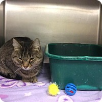 Domestic Shorthair Cat for adoption in Janesville, Wisconsin - Adora