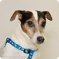 Jack Russell Terrier Dog for adoption in St. Louis Park, Minnesota - Spencer