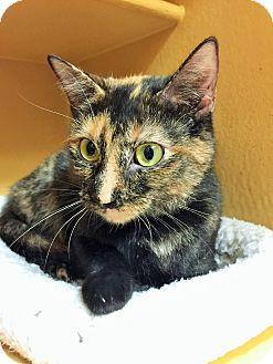 Domestic Shorthair Cat for adoption in Appleton, Wisconsin - Bonnie *Petsmart GB*