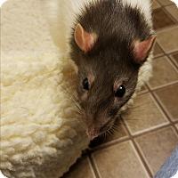 Adopt A Pet :: Rini - St. Paul, MN